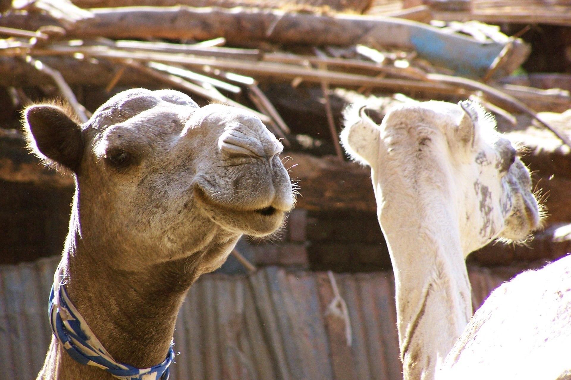 Luxor Kamele